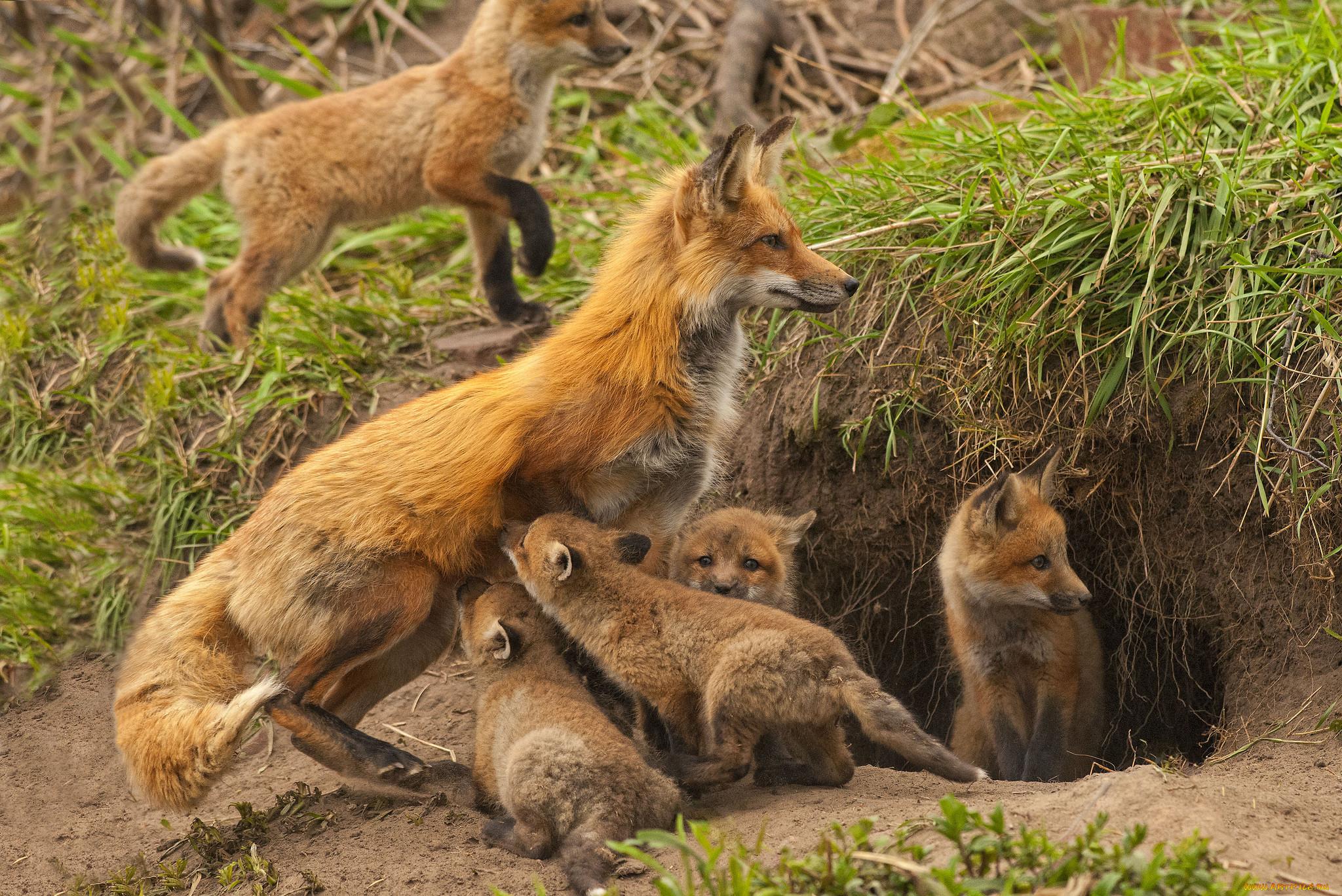 рисунок лисы с лисятами в норе это